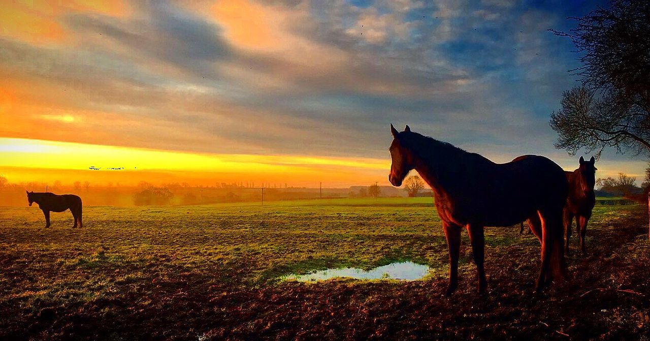 Horses in a field during sunrise in the morning Horse Horses Field Sunrise Sun Mud Horseback Riding United Kingdom Uk Northamptonshire Northampton