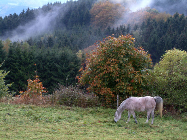 horse on meadow in fall on a rainy day Rainy Days Sauerland Animal Themes Beauty In Nature Day Domestic Animals Fall Field Fog Forest Full Length Grass Grazing Growth Horse Landscape Livestock Mammal Mountain Nature No People One Animal Outdoors Scenics Tree