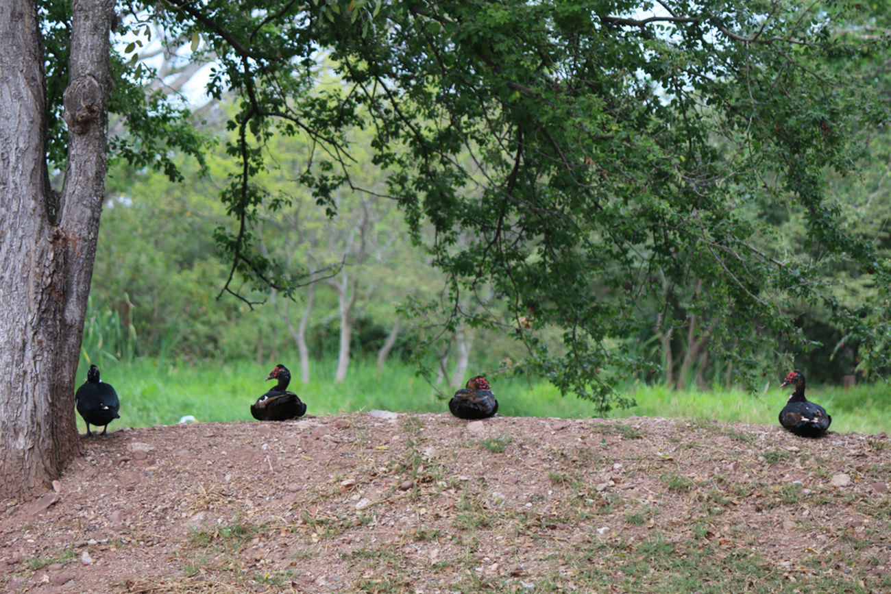 Ducks relaxing by the lake. Animals, Comayagua, Ducks, Afternoon, Cloudy, 365 Challenge, Lake, Four Honduras