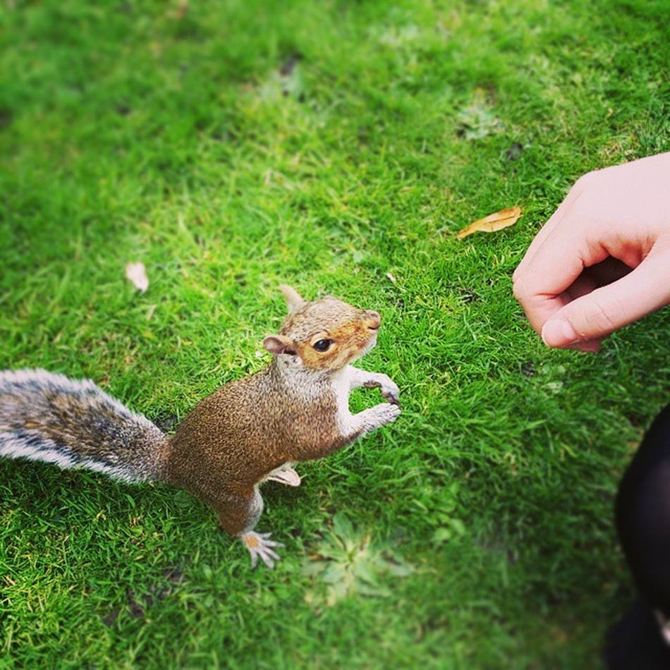 Friendly squirrels in Chester! Starring Siobhan's hand. GreySquirrelsAreActuallyEvil Ohwell