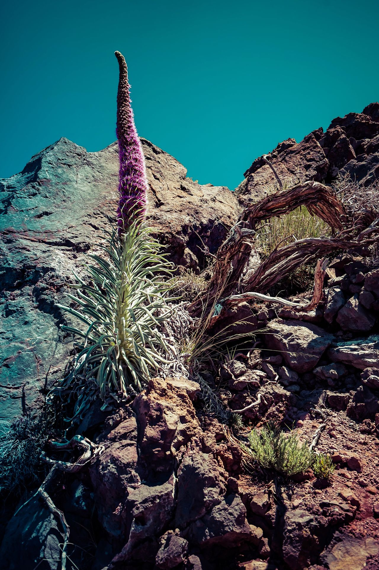 Echium wildpretii Nature Plant Growth Beauty In Nature No People Low Angle View Outdoors Mountain Tranquility Day Clear Sky Arid Climate Flower Desert Volcano Travel Destinations Canary Islands Isla De La Palma Tropical Climate Location Photography Travel Photographer