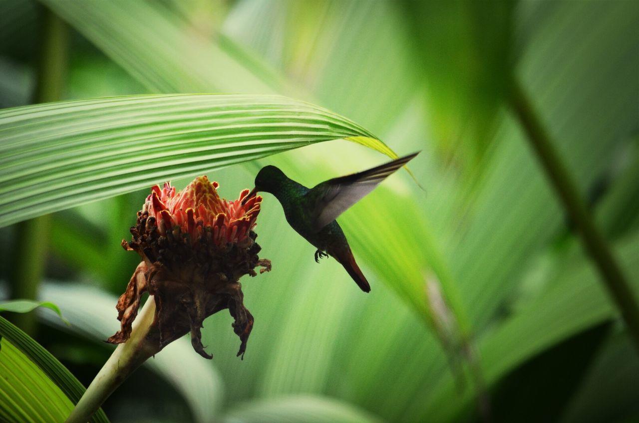 Beautiful stock photos of hummingbird, Animal Themes, Bird, Blade Of Grass, Day