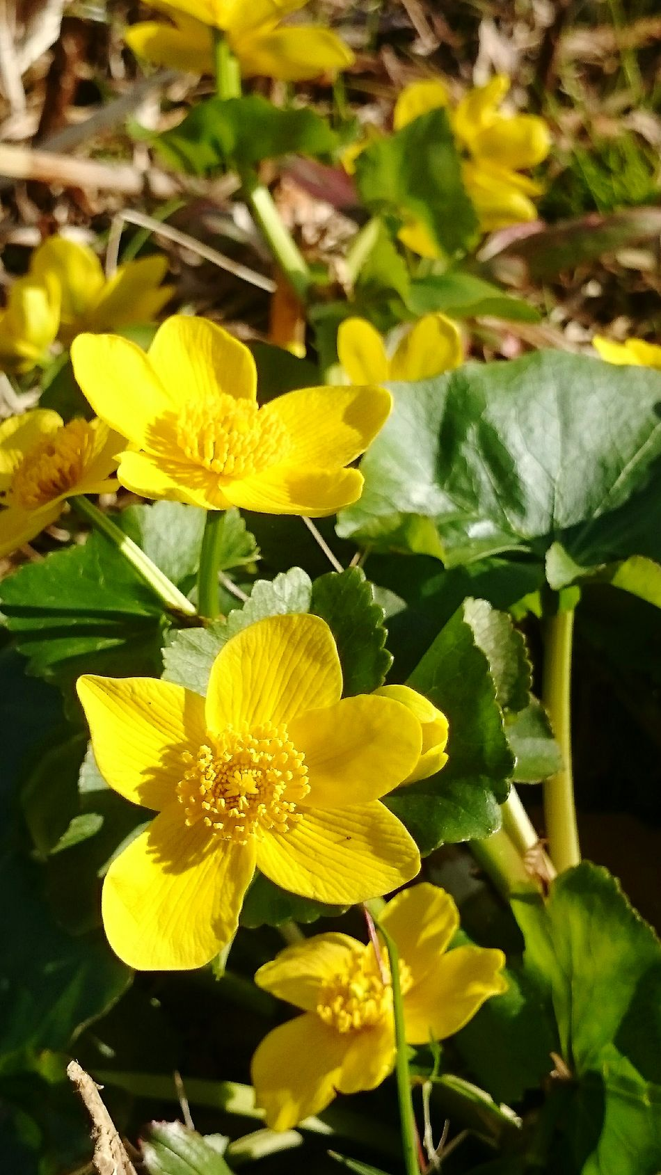 Nature Growth Flower Yellow Freshness Beauty In Nature Leaf Flower Head Plant Fragility Petal Close-up Outdoors No People Day Marsh Marigold Kingcup Cowslip Springtime Freshness