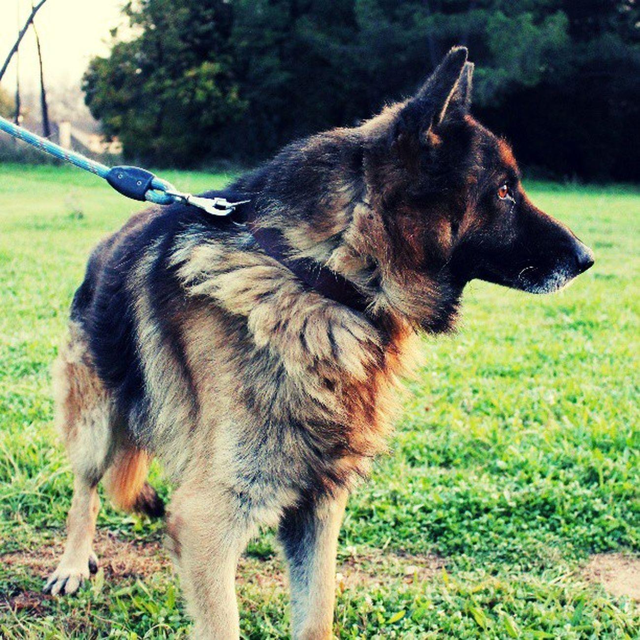 Tinc el gos més guapo del món. Drac Dog Instapet PastorAlemany