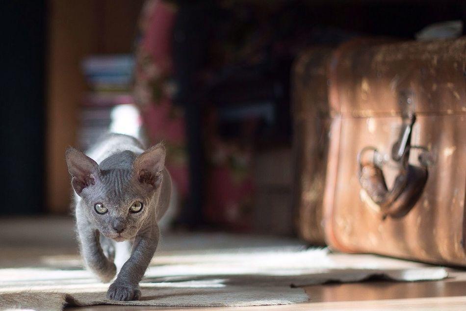 Piet Cat Sphynx
