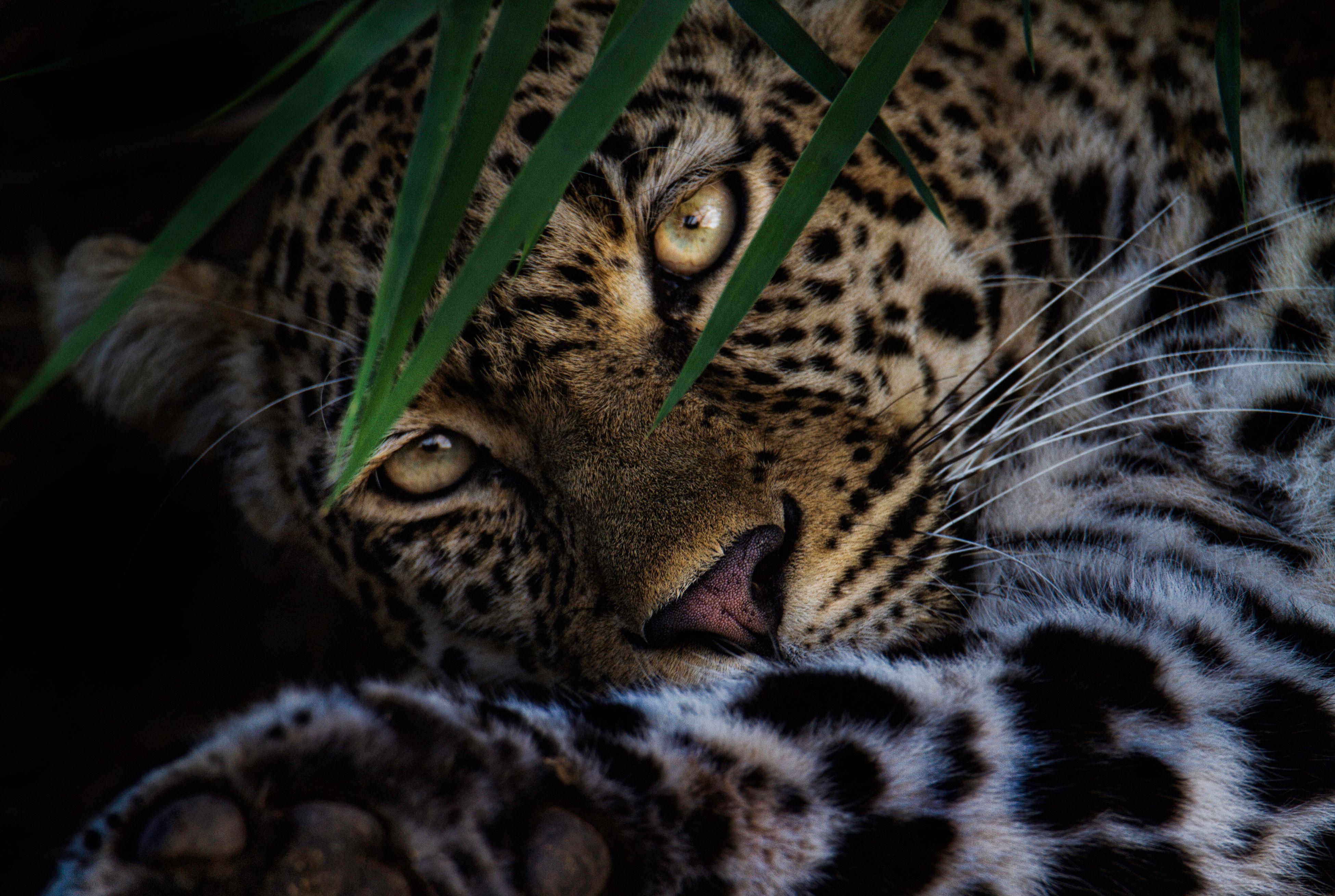 animal themes, one animal, mammal, feline, animal markings, wildlife, whisker, animals in the wild, tiger, close-up, animal head, domestic cat, cat, animal body part, lying down, natural pattern, relaxation, safari animals, big cat, undomesticated cat