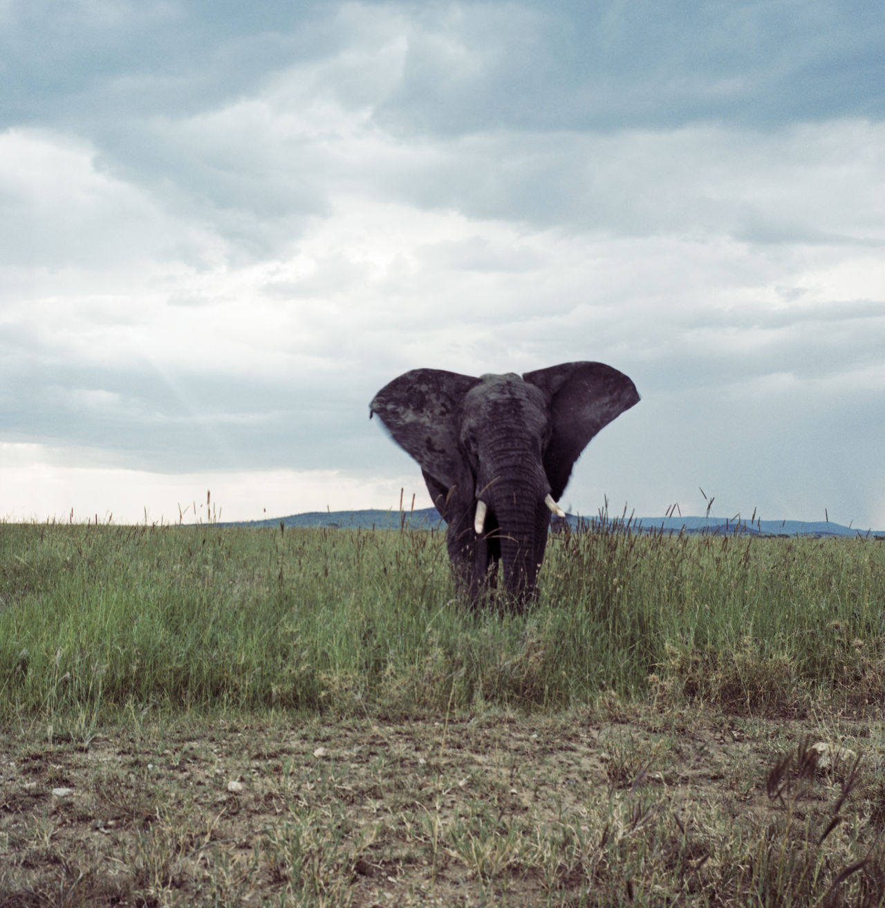 Beautiful stock photos of elephant, African Elephant, Animal Themes, Animals In The Wild, Beauty In Nature