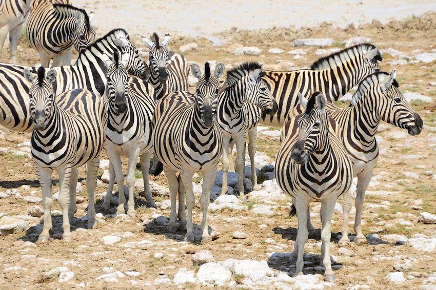 in Etosha National Park Namibia Hartmann's Zebra Hartmann's Mountain Zebra Namibia National Park Africa Animal Themes Animal Wildlife Animals In The Wild Beauty In Nature Day Etosha Etosha National Park Large Group Of Animals Nature Outdoors Safari Safari Park Standing Striped Zebra