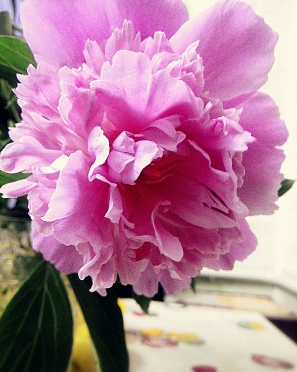 Flower Pink Flower Pink Peony  Peon