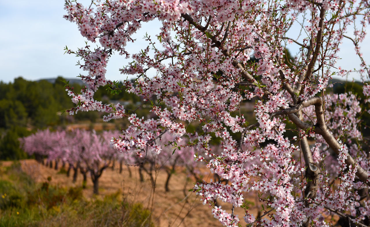 Blooming almond trees. Alicante. Costa Blanca, Valencia. Spain Alicante, Spain Almond Tree Almond Tree In Blossom Beauty In Nature Blooming Tree Costa Blanca Countryside Day Field Flowering Tree In A Row Landscape Natural Nature Nobody Outdoors Pink Flower Rural Scene Season  Seasonal South SPAIN Valencia, Spain Winter