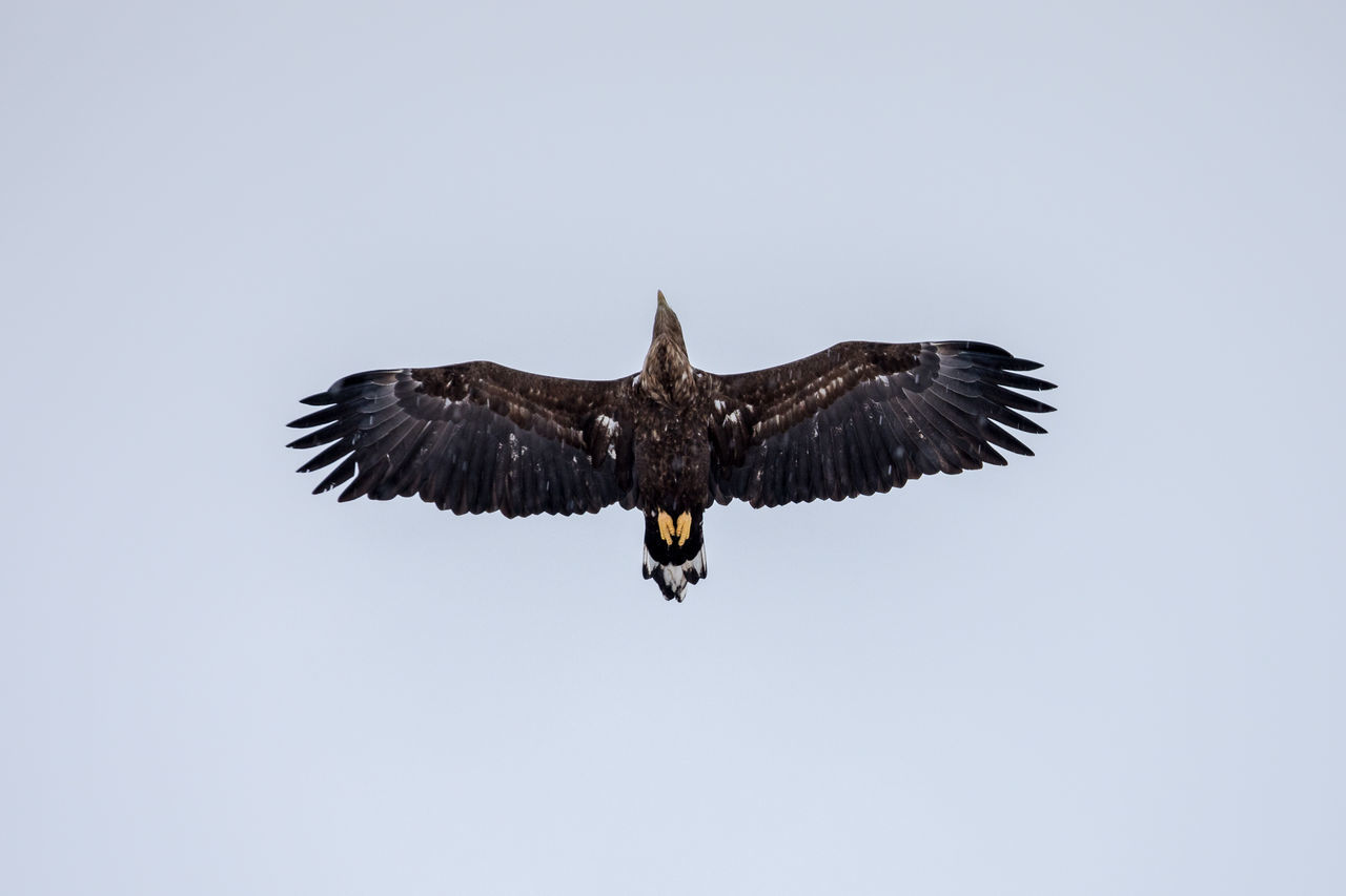 Animal Themes Animal Wildlife Animals In The Wild Bald Eagle Beauty In Nature Bird Bird Of Prey Day Directly Above Eagle - Bird Flying Nature No People Norway One Animal Outdoors Rap Sea Eagle Spread Wings Vesterålen Vulture White Tailed Eagle Winter