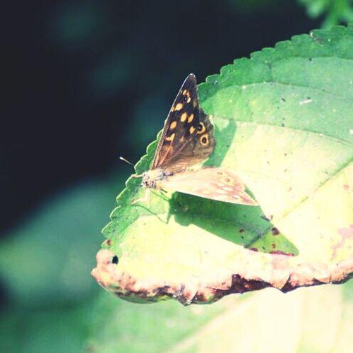 Nature Butterfly Butterflies Papillon Nature_collection