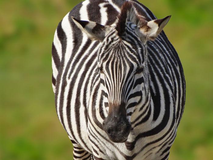 Zebra Dolichohippus Equidae Hippotigris Animal Markings Animal Themes Animal Wildlife Animalia Animals In The Wild Black And White Striped Coats Close-up Equus Grass Mammal Mammalia Nature Safari Animals Striped Zebra