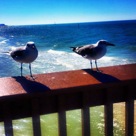 Close enough to touch Seagull Bird Clearwater Florida Cwb Tampa Dunedin Pier60 Ocean Sea Gulfcoast Enjoying Life Life Is A Beach