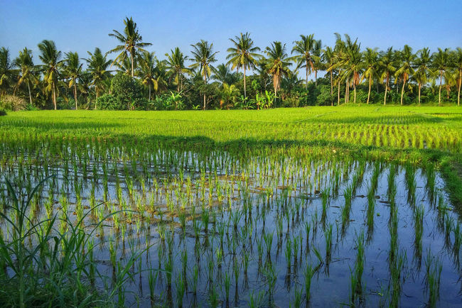 a rest-and-relax vacation to ubud, bali Bali Coconut Trees Greenery Growth Landscape Padi Padi Field Rice Field Rice Paddy Tourism Tranquility Ubud Vacation