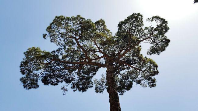 Tall Tree at Golestan Palace Tehran, Iran Bright Sky Showcase June