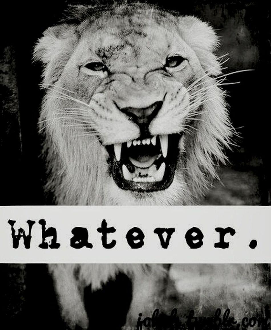 Animal Tiger Lion Whateverrr