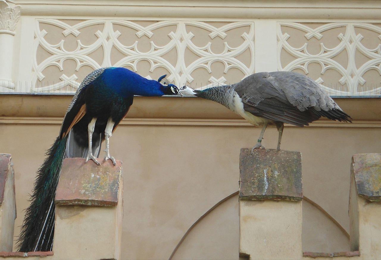 Peacock Bird Love Building Exterior Day Animal Themes No People Architecture Wörlitzer Park Wörlitz