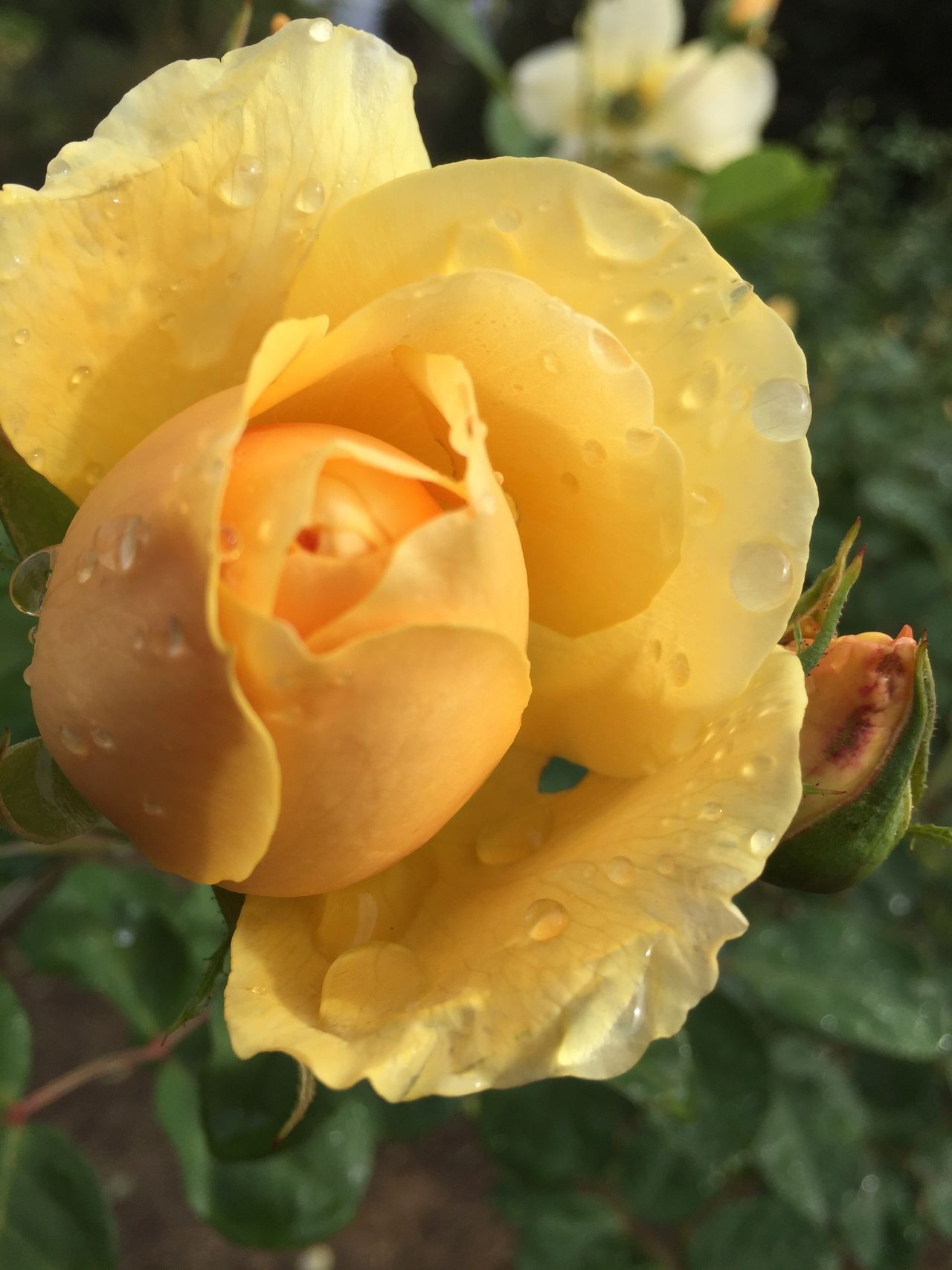 Yellow bud.... Flower Nature Beauty In Nature Fragility Flower Head Close-up Blooming Yellow Rose Waterdroplets Rosé Rosebud