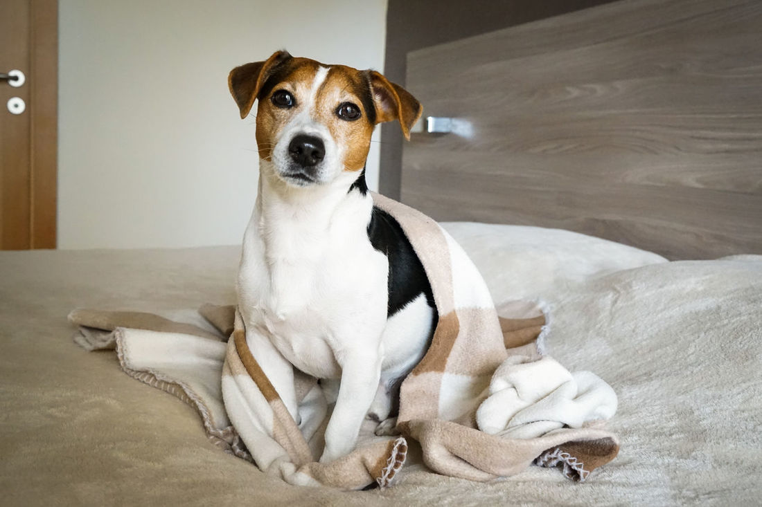 Animal Themes Autumn Bedroom Bedtime Beige Blanket Cute Day Dog Domestic Animals Home Jack Russell Terrier Mammal No People One Animal Pets Relaxing Sleapy Sweet