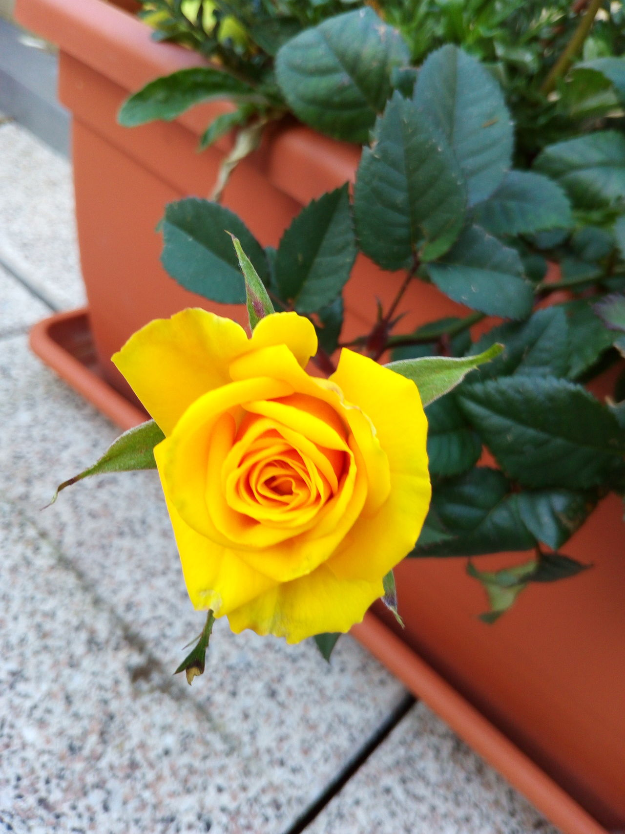Rose🌹 Hanging Out Taking Photos Hello World Check This Out Hi! Enjoying Life Beautiful Day ❤ Yellow Rose Yellow Flower Blume