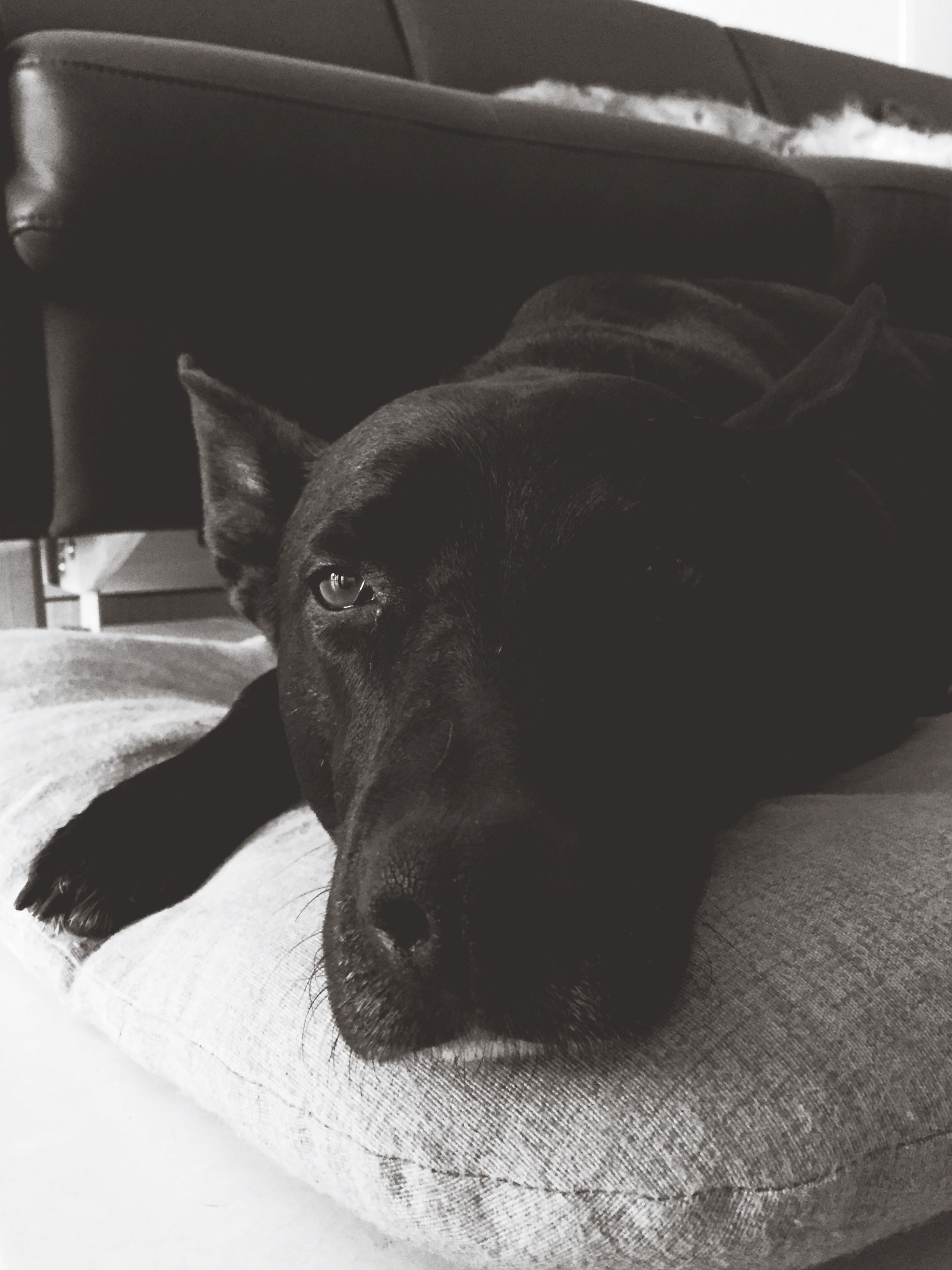 domestic animals, pets, one animal, animal themes, mammal, indoors, dog, relaxation, animal head, resting, close-up, portrait, looking at camera, bed, lying down, sofa, animal body part, home interior, black color, no people