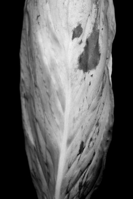Aged B&w Beauty In Nature Black And White Black Background Close-up Marks Old Leafs Outdoors Photography Still Life StillLifePhotography Wrinkled