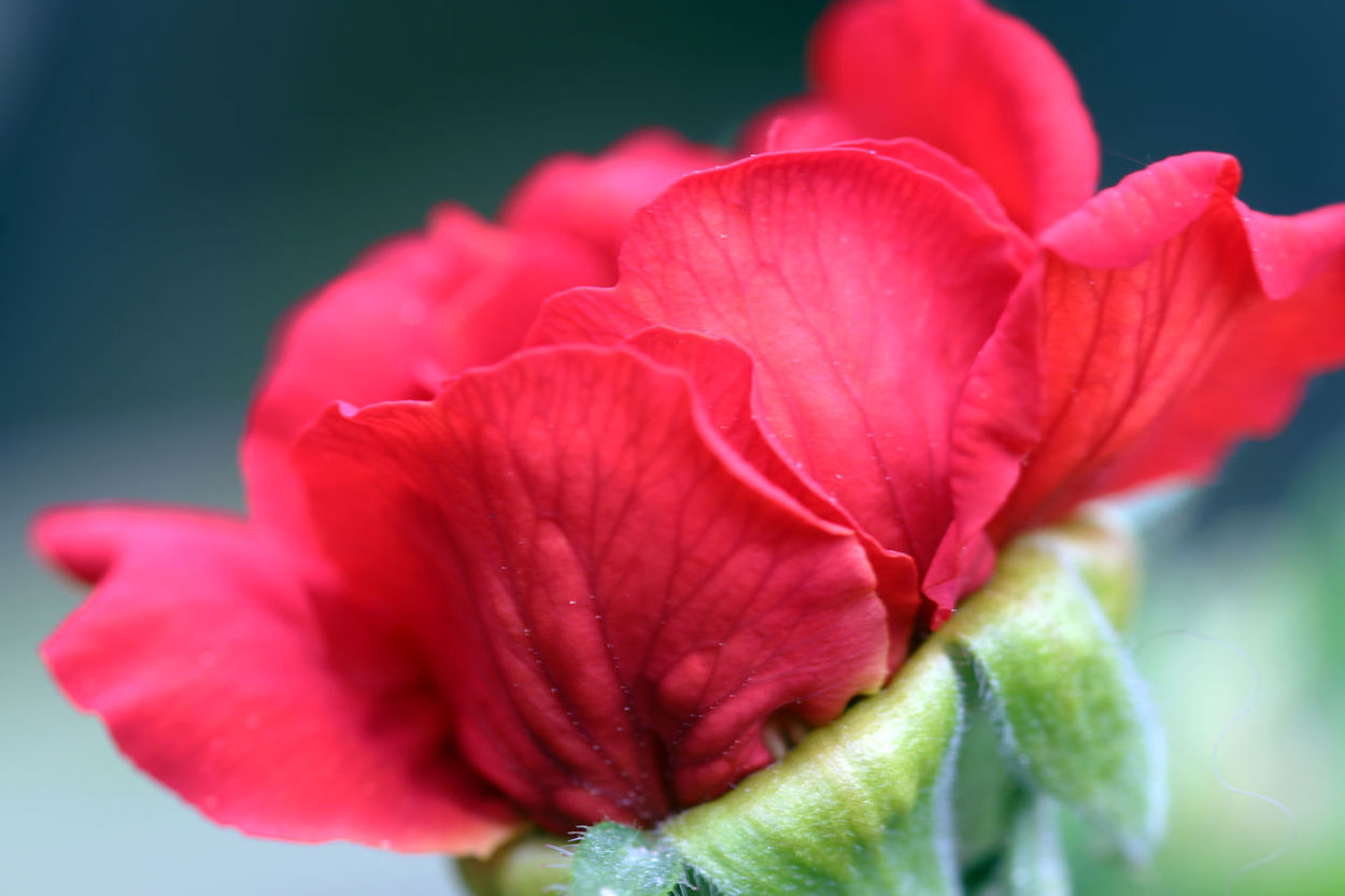 This one survived my dogs ministrations too 3XPSUnity Beauty In Nature Blooming Close-up Day Flower Flower Head Fragility Freshness Geum Growth Hibiscus Ladyphotographerofthemonth Nature No People Outdoors Petal Plant Red Macro_collection Macro