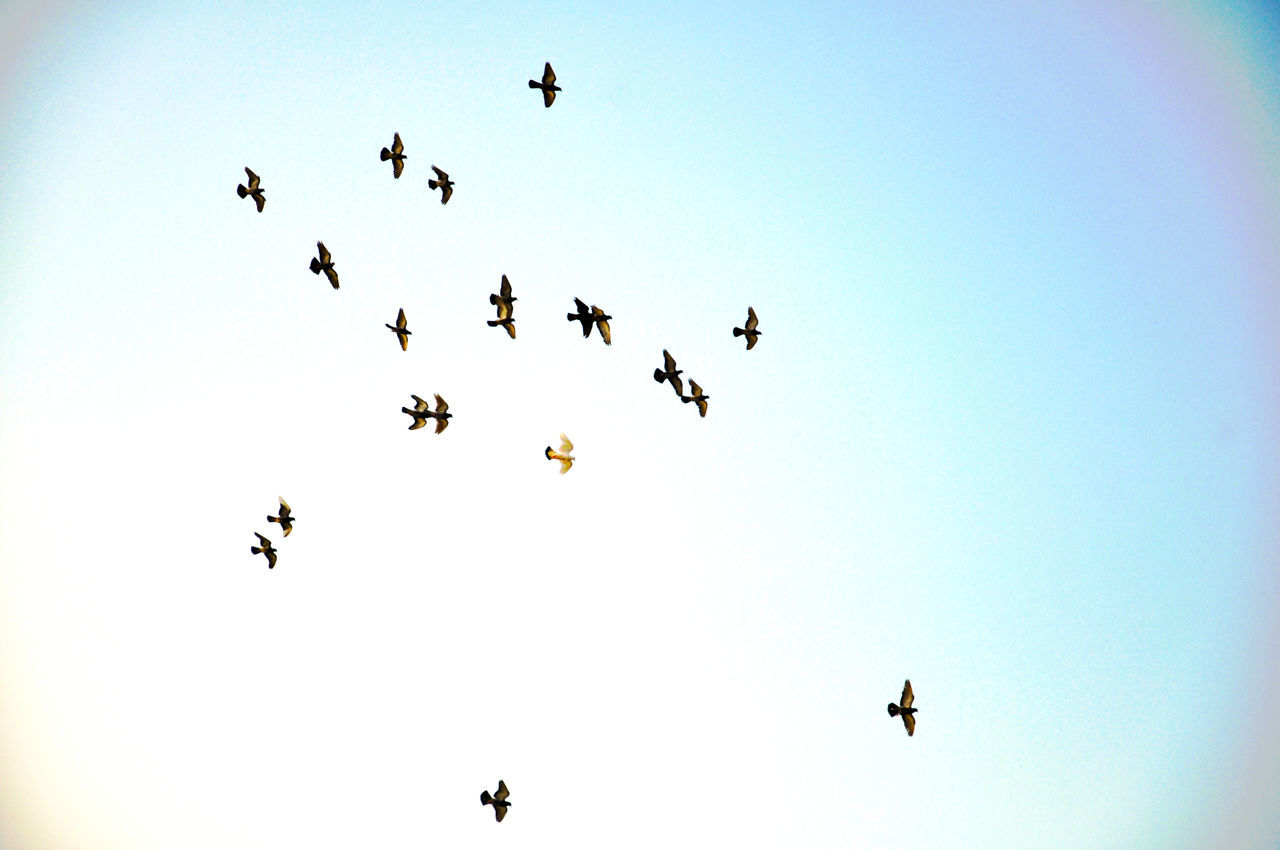 flying, animals in the wild, animal themes, low angle view, bird, mid-air, large group of animals, animal wildlife, clear sky, flock of birds, nature, outdoors, beauty in nature, day, no people, spread wings, togetherness, sky