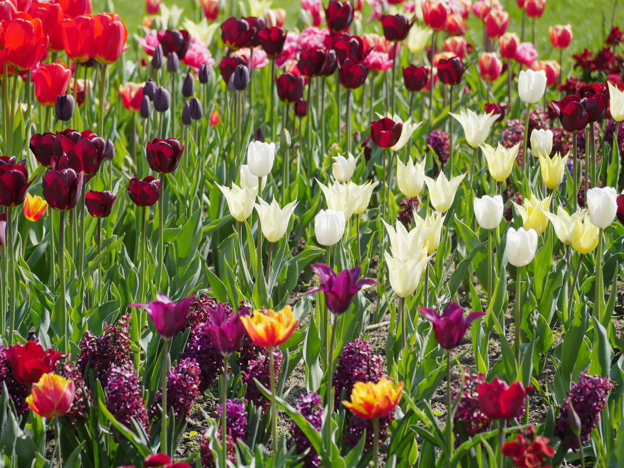 flower, freshness, growth, nature, fragility, beauty in nature, petal, tulip, plant, abundance, no people, field, flower head, red, day, green color, outdoors, flowerbed, purple, blooming, springtime, poppy, full frame, backgrounds, multi colored, close-up, crocus