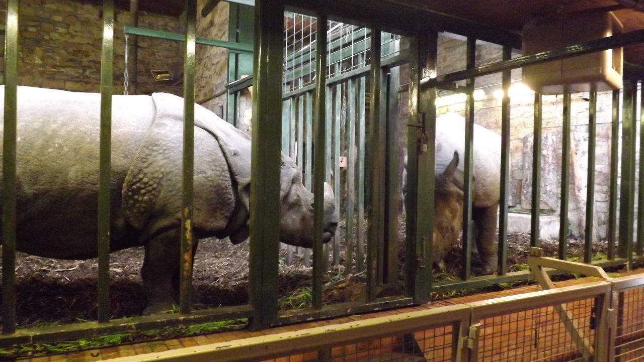animal themes, livestock, domestic animals, mammal, one animal, no people, indoors, cage, day, nature, close-up