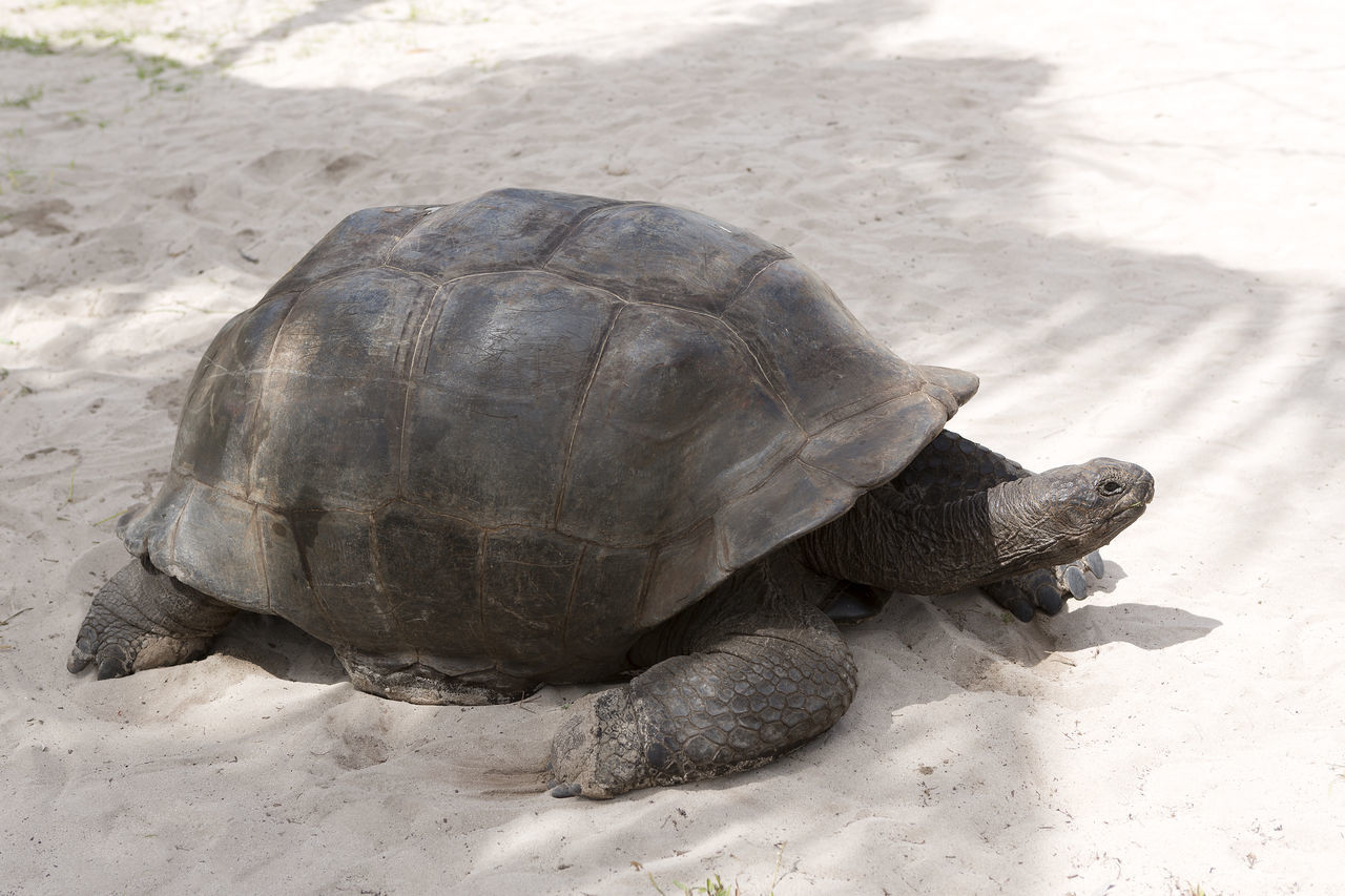 Animal Themes Animal Wildlife Animals In The Wild Curieuse Island Day Full Length Giant Tortoise High Angle View Nature No People One Animal Outdoors Reptile Seychelles Tortoise Tortoise Shell Tortoises Travel Travel Destinations Travel Photography