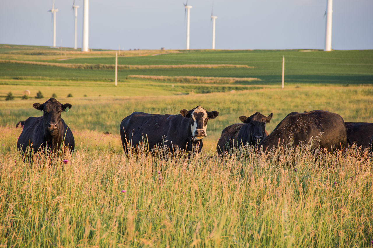 Agriculture Animal Beef Cattle Black Black Angus Canon60d Canonphotography Cattle Cows Day Domestic Animals Field Grass Green Landscape Livestock Outdoors Pasture Rolling Landscape Rural Scene Summer Wind Turbine Windmill