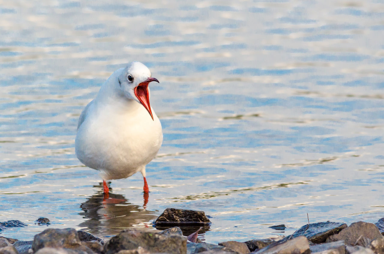 Animal Themes Animal Wildlife Animals In The Wild Beauty In Nature Bird Close-up Day Lake Lough Nature No People One Animal Outdoors Perching Screaming Sea Sea Bird Seagull Water Yawning