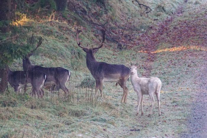 ein weißer Damwild-Spießer White Fallow Deer White Damwild Fallow Deer Wildlife Antler Animal Wildlife Animal Themes Nature Mammal Field No People Forest