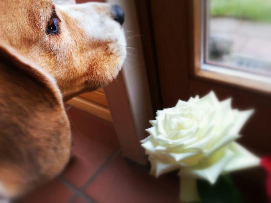 Beautiful stock photos of beagle, Animal Themes, Beagle, Beauty In Nature, Carnivora