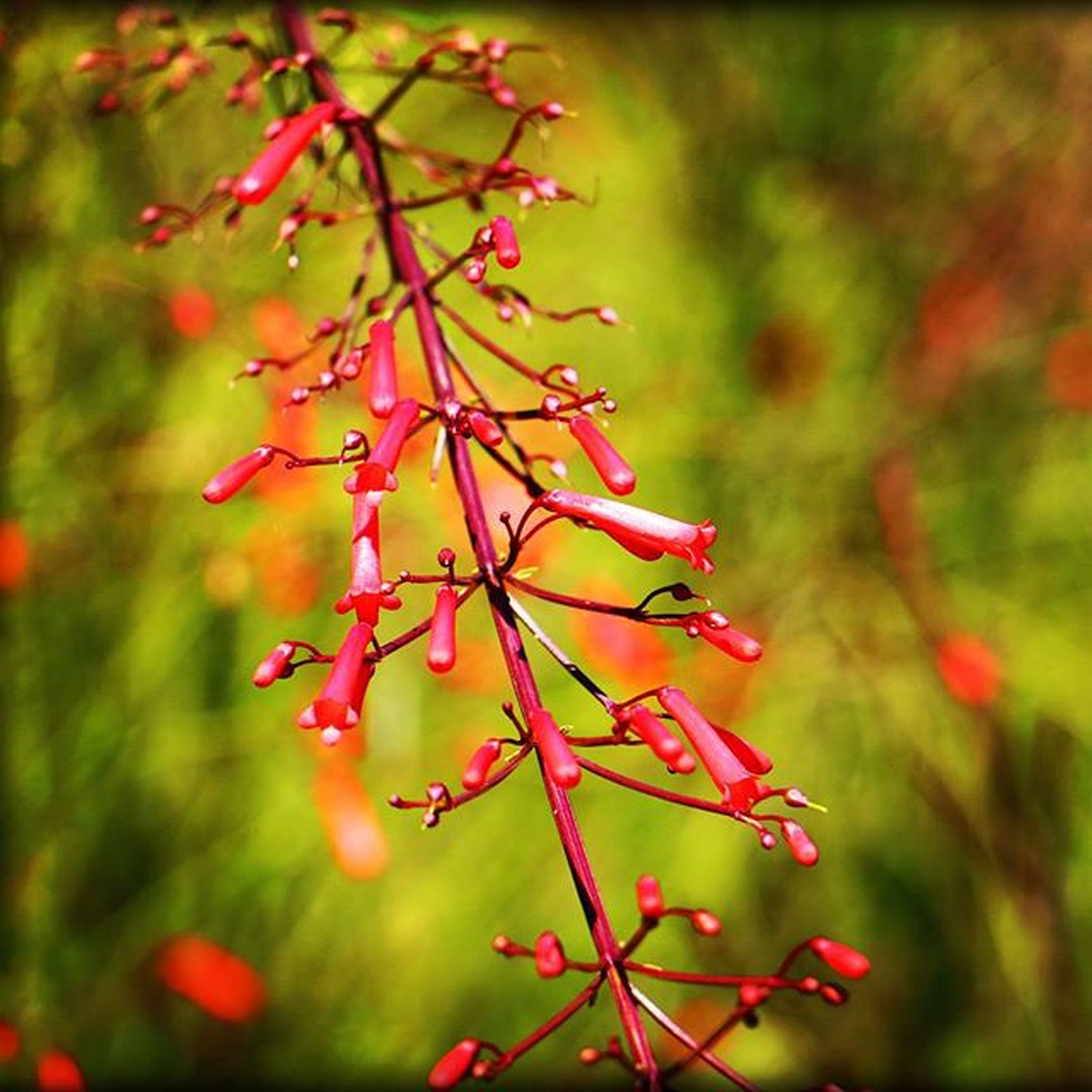 red, growth, focus on foreground, branch, close-up, leaf, nature, tree, beauty in nature, twig, plant, selective focus, autumn, freshness, tranquility, day, outdoors, season, no people, stem