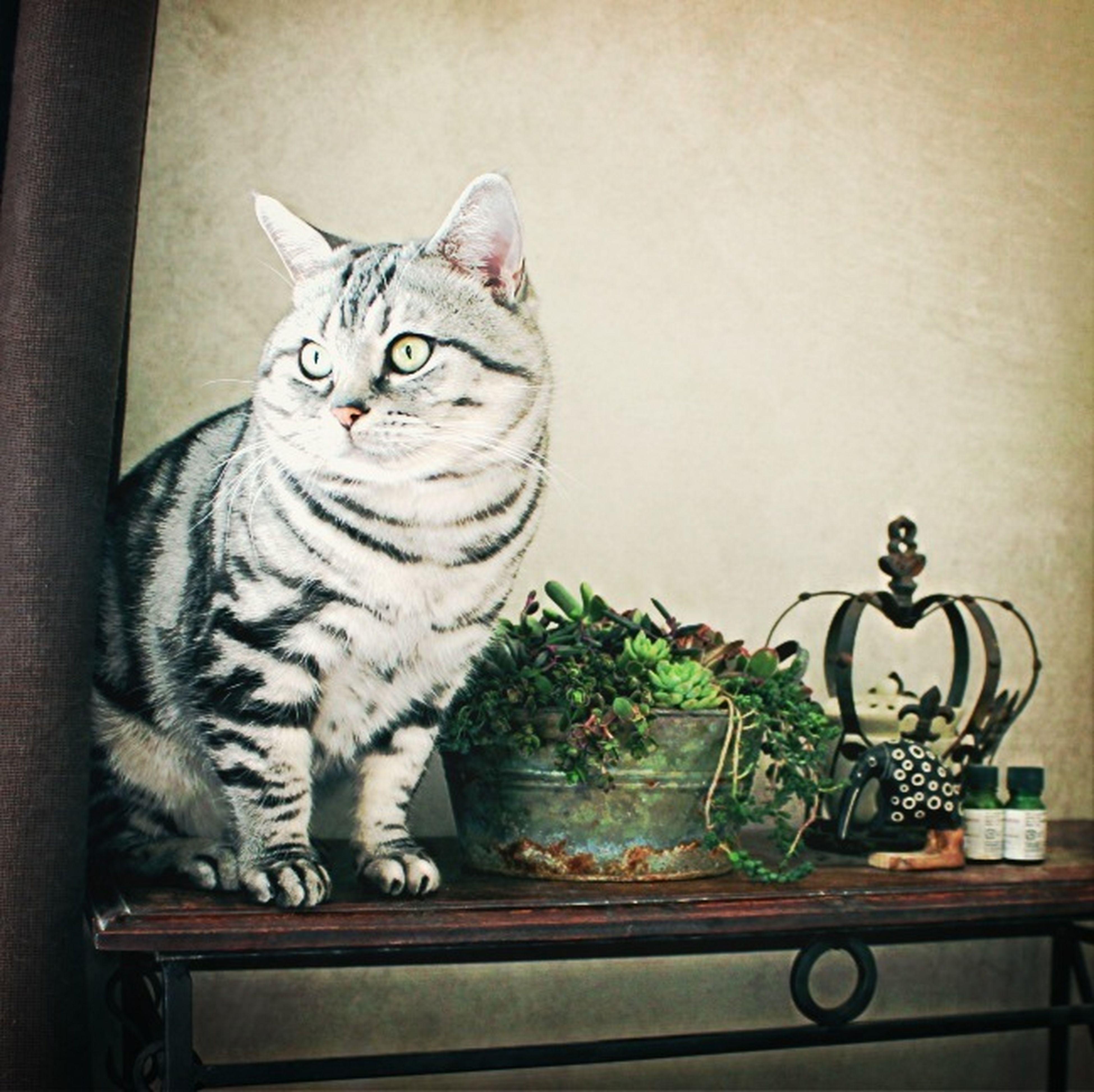 domestic cat, cat, pets, animal themes, one animal, domestic animals, feline, indoors, mammal, portrait, potted plant, whisker, looking at camera, sitting, no people, relaxation, plant, alertness, staring, table