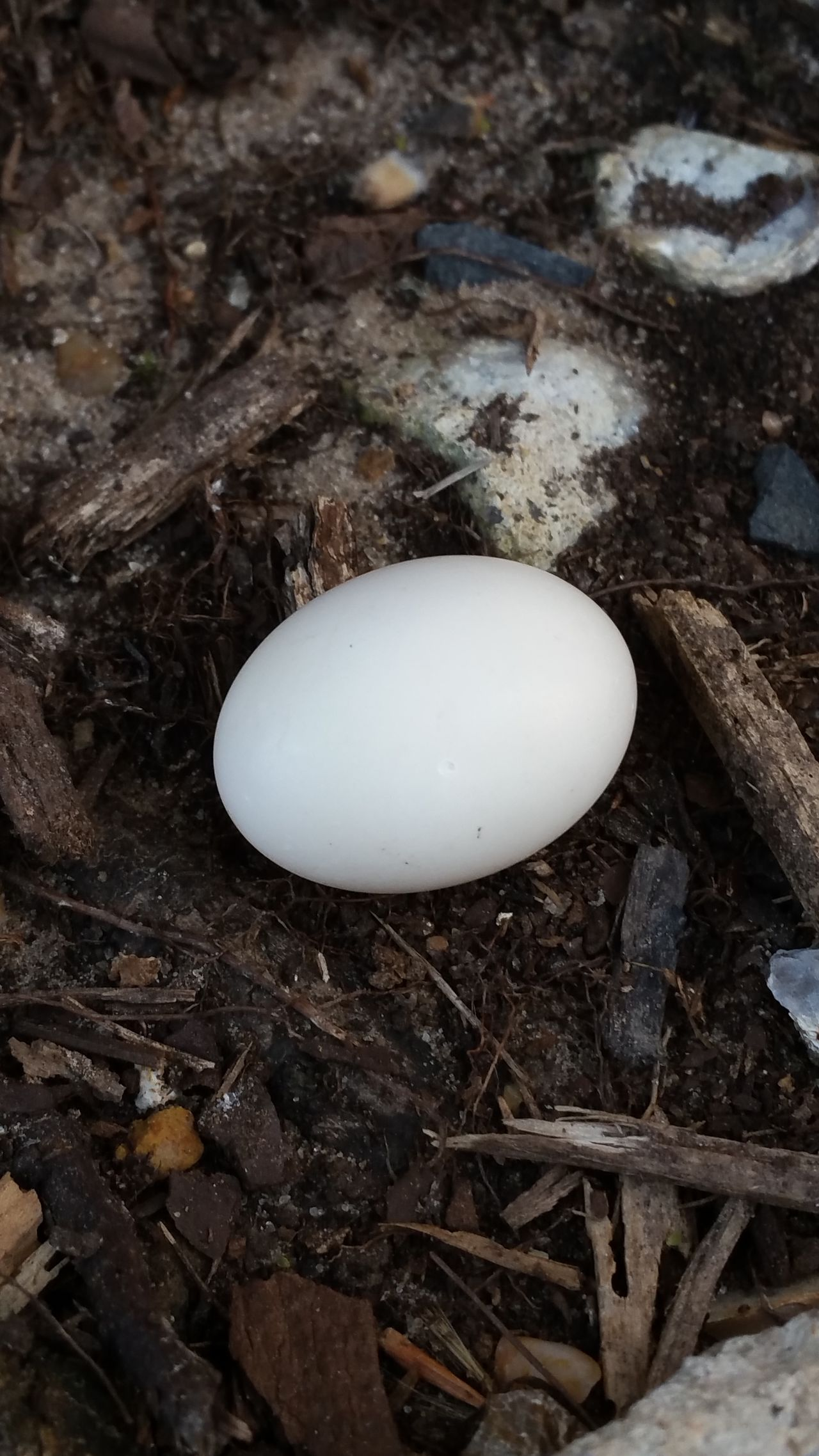Found a lost dove egg on the ground. No sign of a nest anywhere, just a couple of doves in the tree. High Angle View Close-up No People Nature Day Freshness Outdoors Bird Egg Dove Egg Eggs Lost And Found Unusual Finds