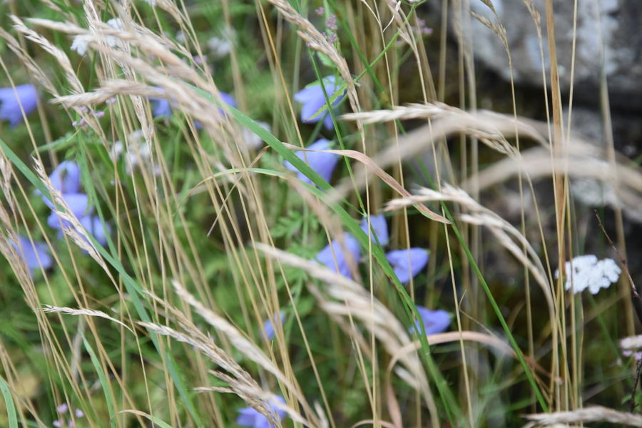 Backgrounds Beauty In Nature Blade Of Grass Blue Botany Close-up Day Depth Of Field Dof Field Flower Fragility Grass Grassy Green Green Color Growing Growth In Bloom Nature Plant Selective Focus Softness Summer Tranquility