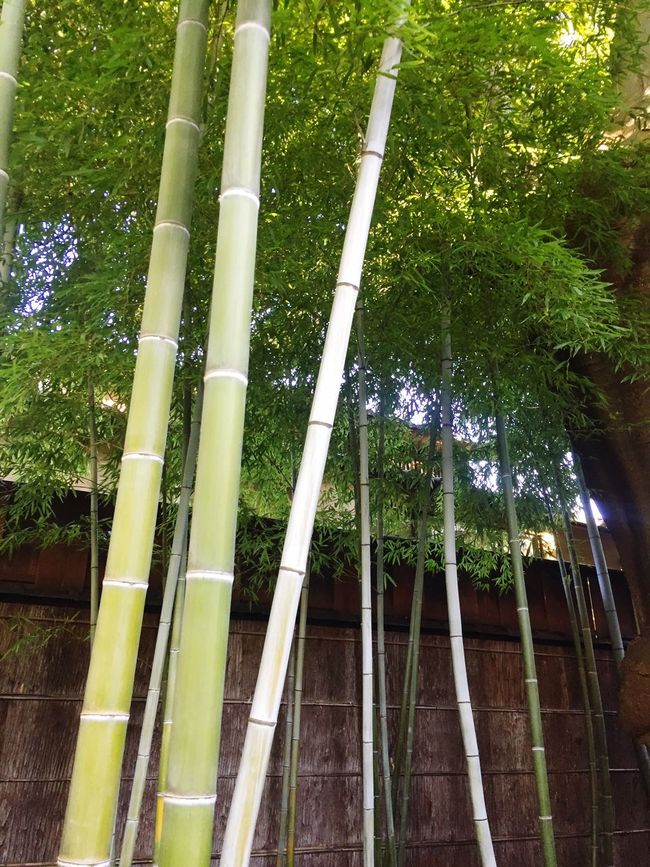 Low Angle View Bamboo - Plant Tall - High Tea Ceremony Tree Growth Green Color Tranquil Scene