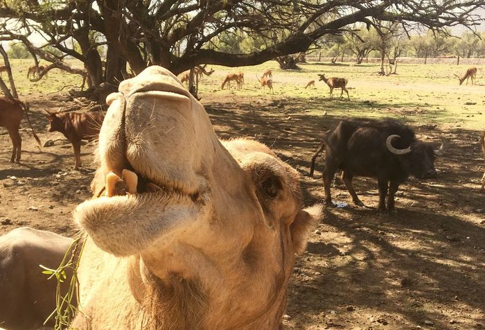 Animal Themes Field Wildlife & Nature Wildlife Camel FUNNY ANIMALS Funny Moments Theeth Close Up Zoology Zoo Animals  Mammal Outdoors Tree Day Nature Close-up