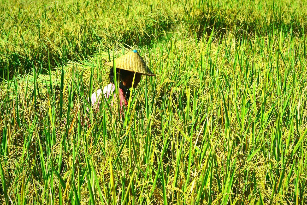 Growth Rice Plant Farmer Style Work Hard Rice Field Panen Padi Petaniindonesia Wonderfulindonesia Culture And Tradition