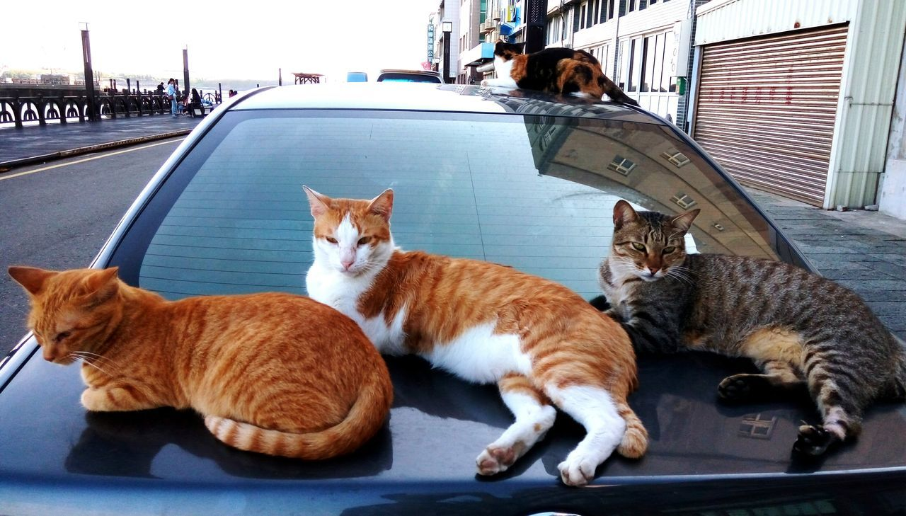 domestic cat, pets, domestic animals, animal themes, mammal, feline, cat, one animal, day, car, ginger cat, no people, outdoors, sitting
