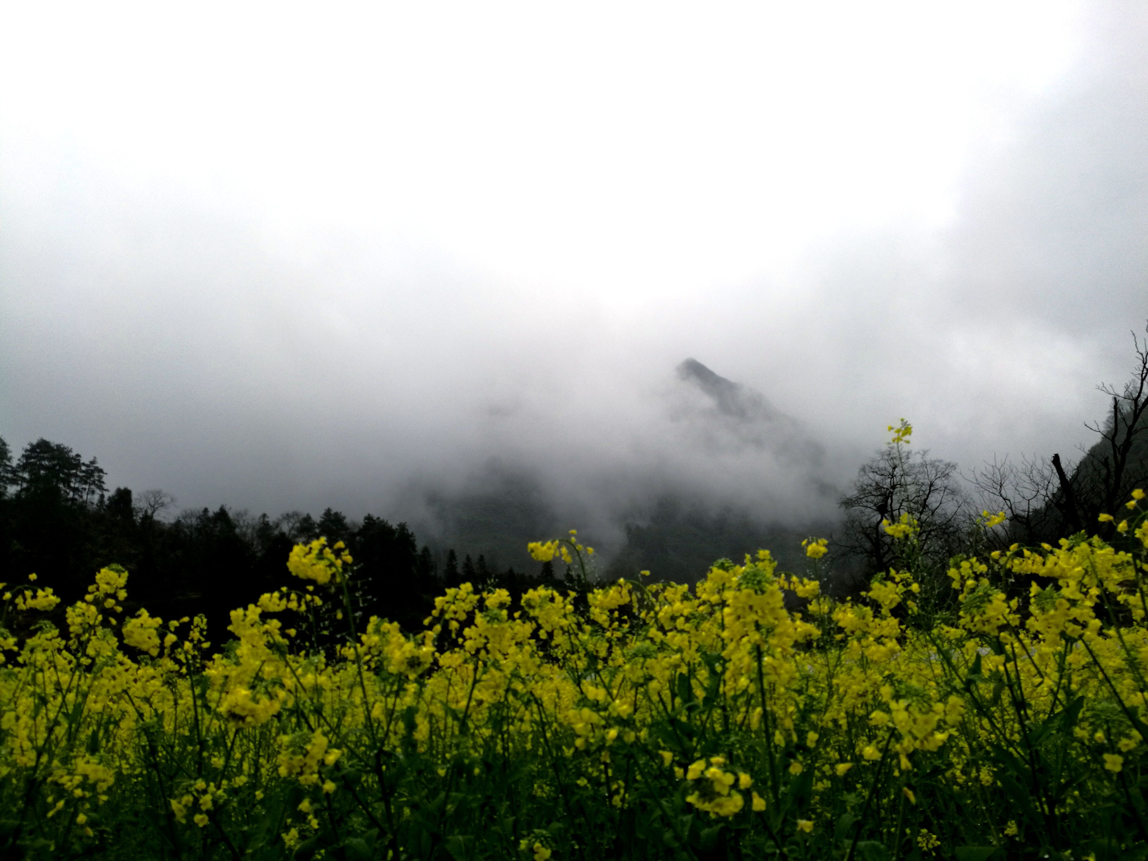 nature, tree, beauty in nature, growth, tranquility, fog, no people, yellow, outdoors, day, sky, oilseed rape
