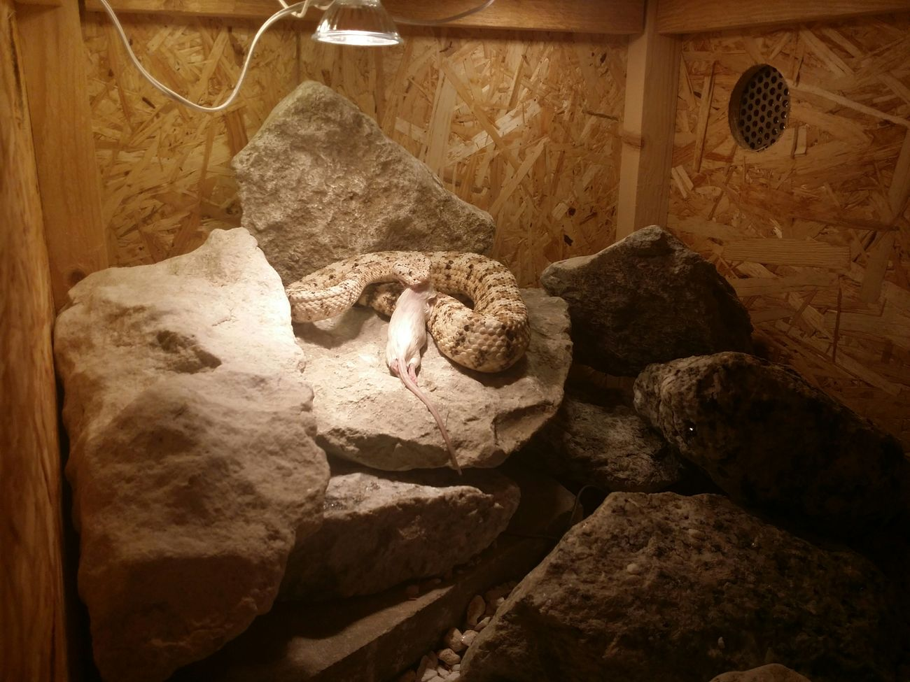 Pyrrhus Crotalus Rattlesnake Skallerorm