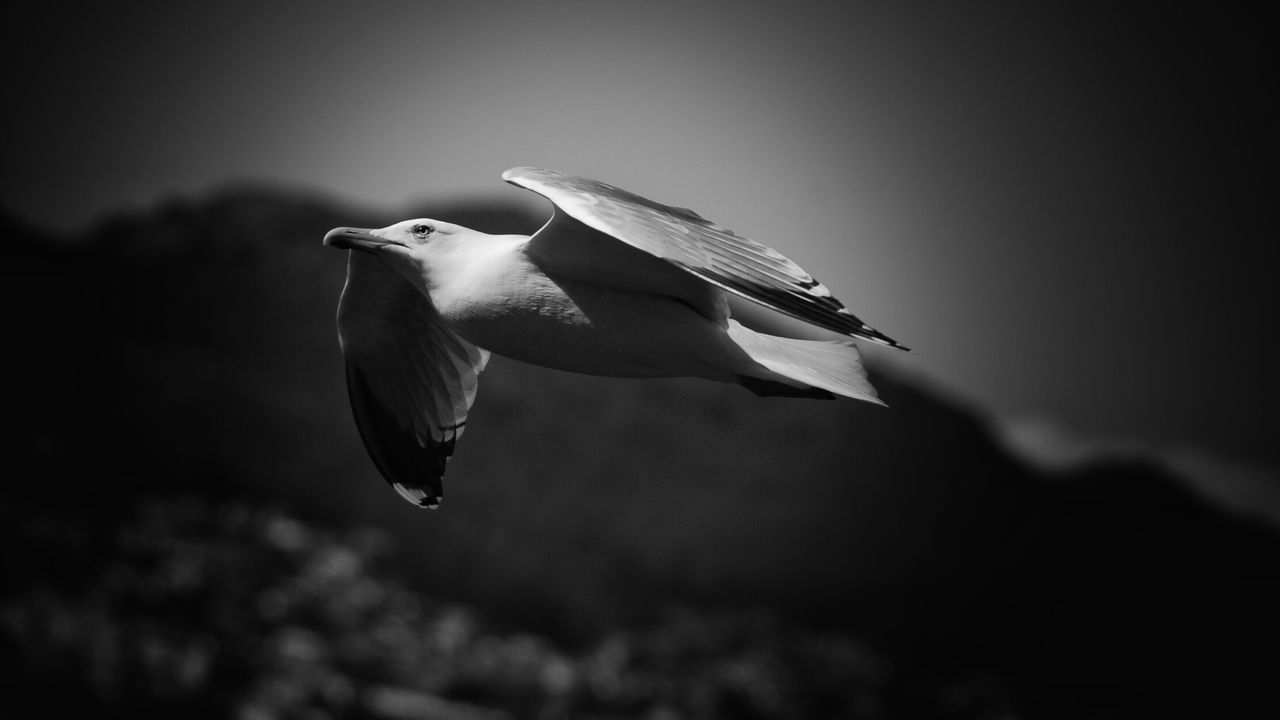 Bird Nature Sky Blackandwhite Wildlife Close-up Eye4photography  Birds Flying Black&white One Animal Animal Themes Animals In The Wild No People Animal Wildlife Outdoors Day Spread Wings