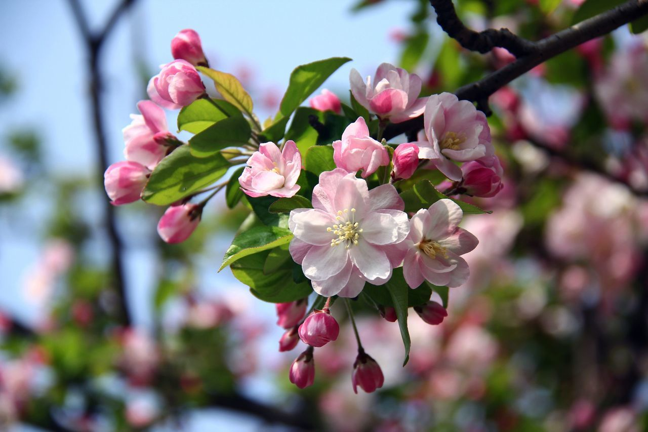 Malus Micromalus Flower Fragility Growth Beauty In Nature Pink Color Blooming Tree