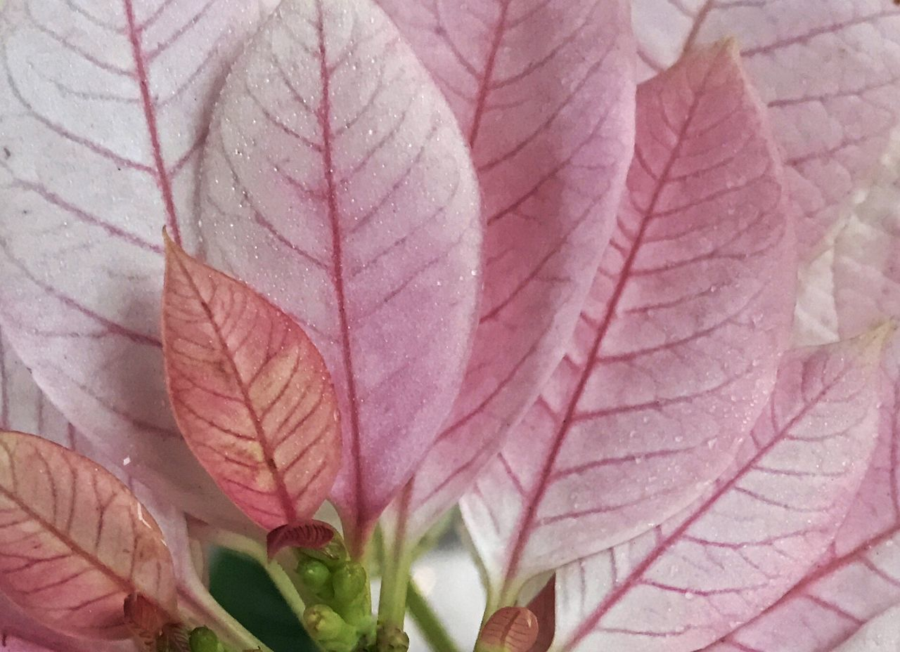 Sugar-frosted pink poinsettia on a dew covered morning. Poinsettia Pink Color Leaves Pink Leaves Bracts Pink Bracts Close-up Full Frame Background Nature Flower Beauty In Nature Leaf No People Plant Outdoors Droplets Dew Day Backgrounds Holiday Tradition