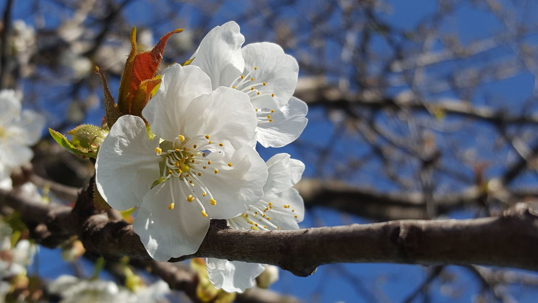 Cherrytree Cherries🍒 Cherry Blossoms Nature Close-up Flower Beauty In Nature Blossom Springtime Tree Sunlight Growth Plant Outdoors Almond Tree Branch No People Fragility Flower Head Day Freshness Sky